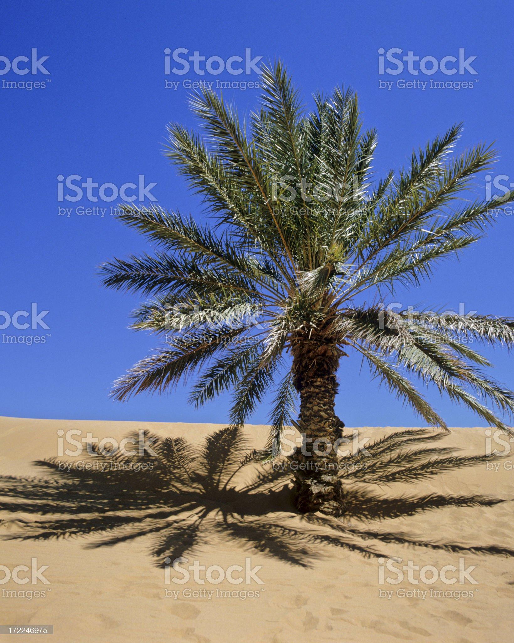 Morocco Palm in the Sahara Desert (image size XXL) royalty-free stock photo