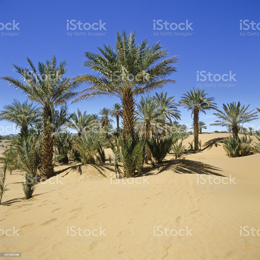 Morocco palms in the Sahara Desert (image size XXL) royalty-free stock photo