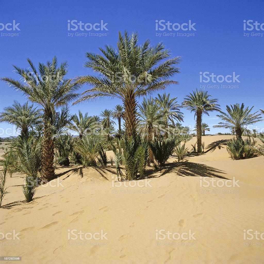 Morocco palms in the Sahara Desert (image size XXL) stock photo