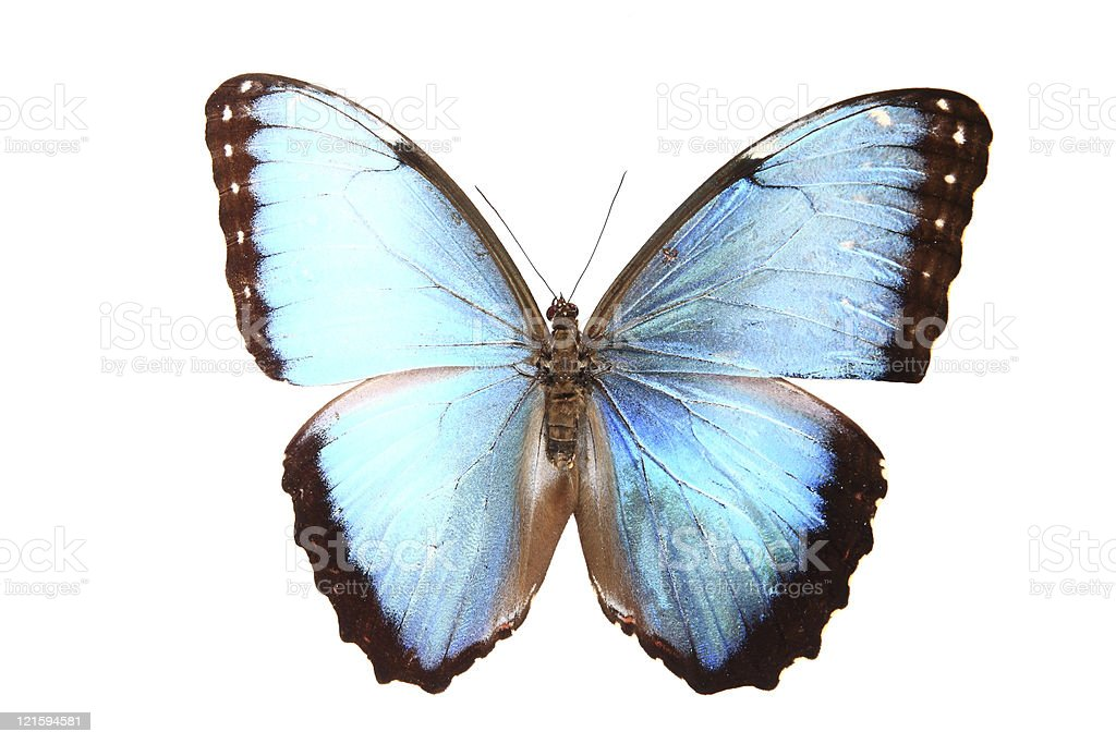 Morphidae:Dazzling blue colors of the butterfly royalty-free stock photo