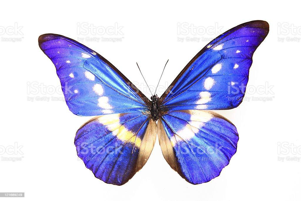 Morphidae:morpho helena staudinger (morpho helena)butterfly royalty-free stock photo