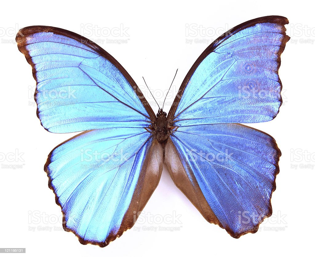 Morphidae:Shines with brilliant blue butterfly royalty-free stock photo