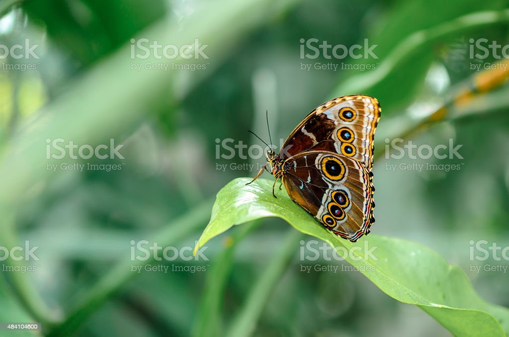 Morpho achilles Butterfly stock photo
