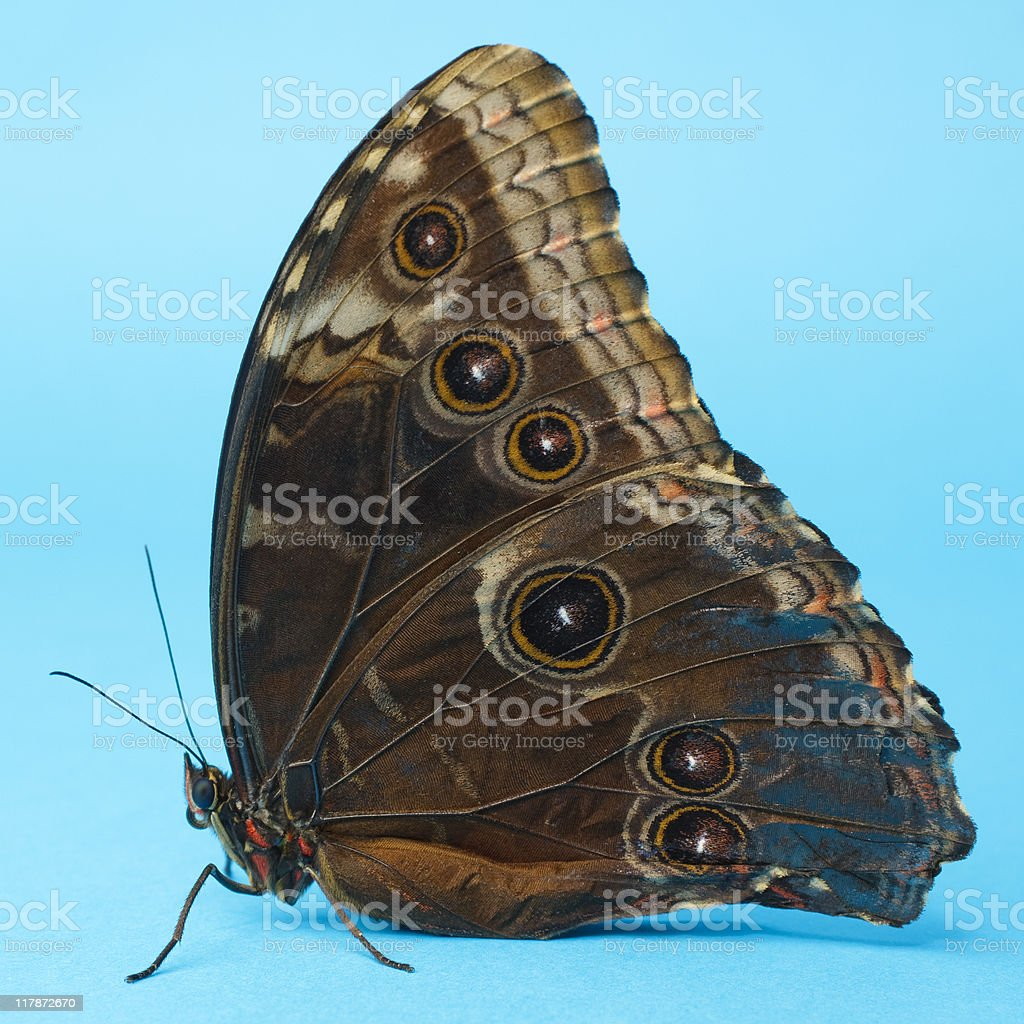 Morpho Butterfly royalty-free stock photo