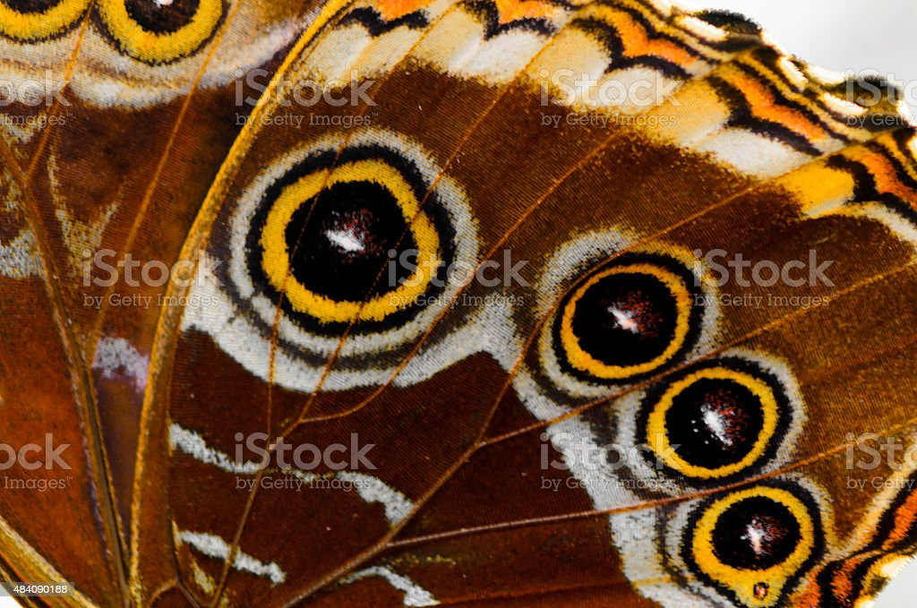 Morpho butterfly wing stock photo