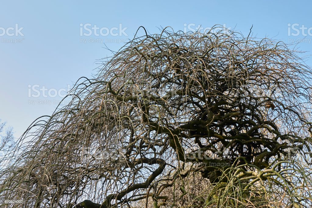 Morus alba pendula stock photo