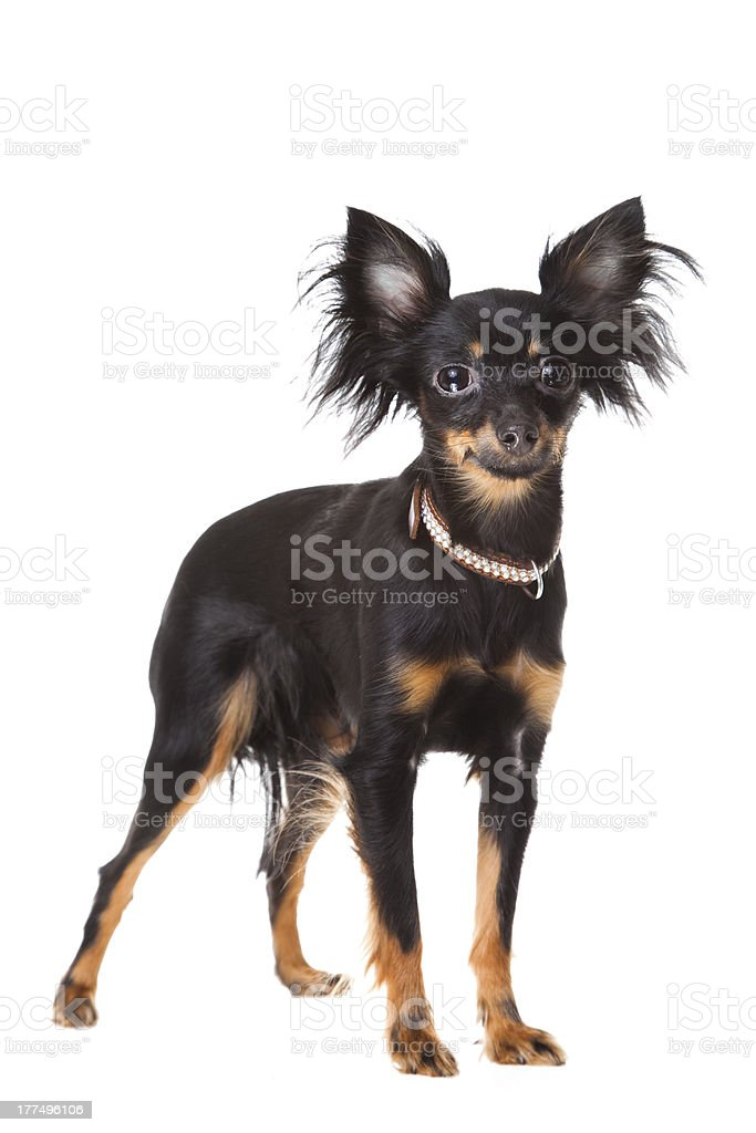 Moscow long-haired toy terrier on isolated white royalty-free stock photo