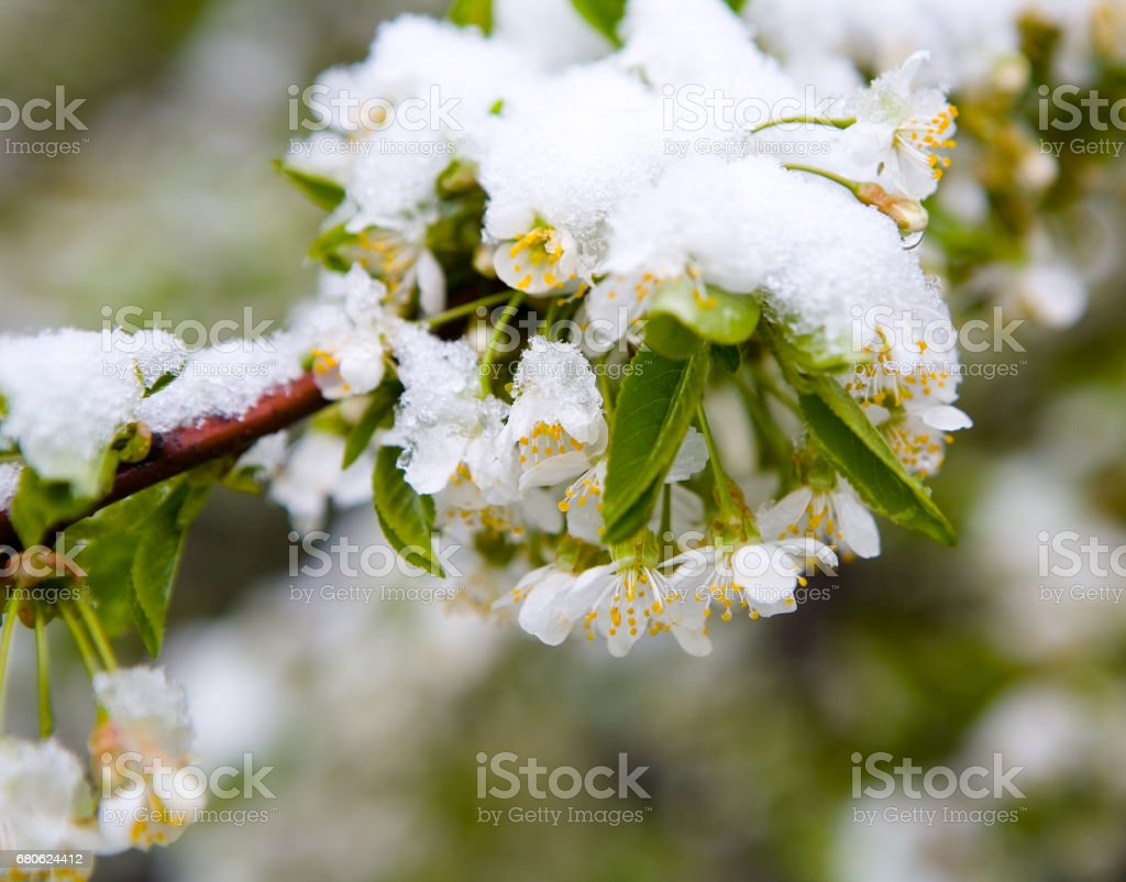 Moscow, Russia, May 8, 2017: A natural phenomenon. Unexpected spring snowfall and flowering trees. stock photo