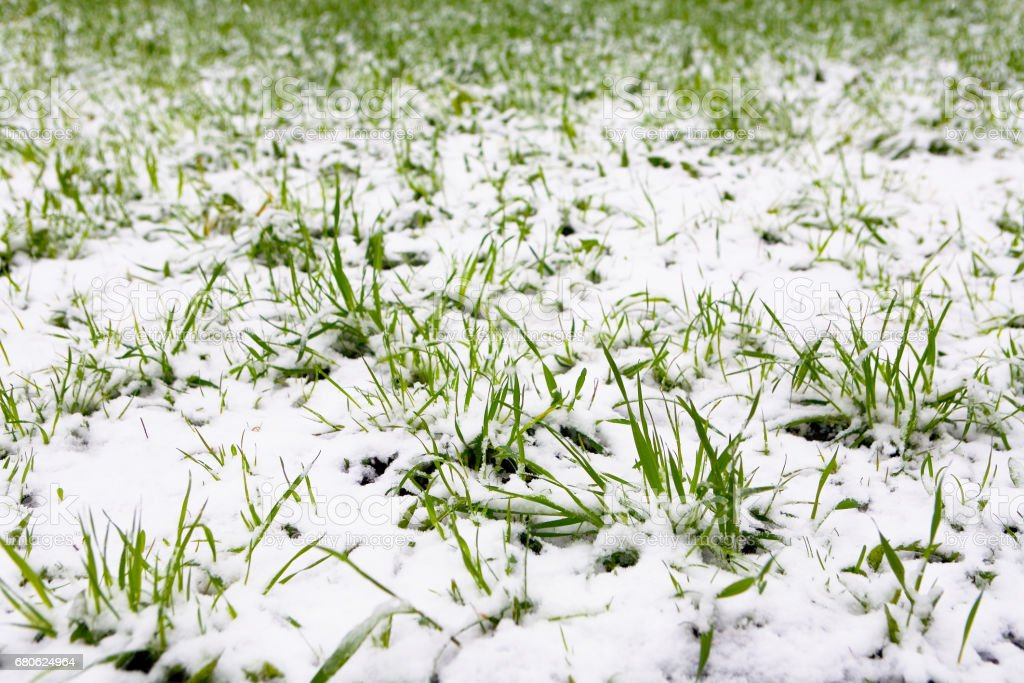 Moscow, Russia, May 8, 2017: A natural phenomenon. Unexpected spring snowfall and green young grass. stock photo