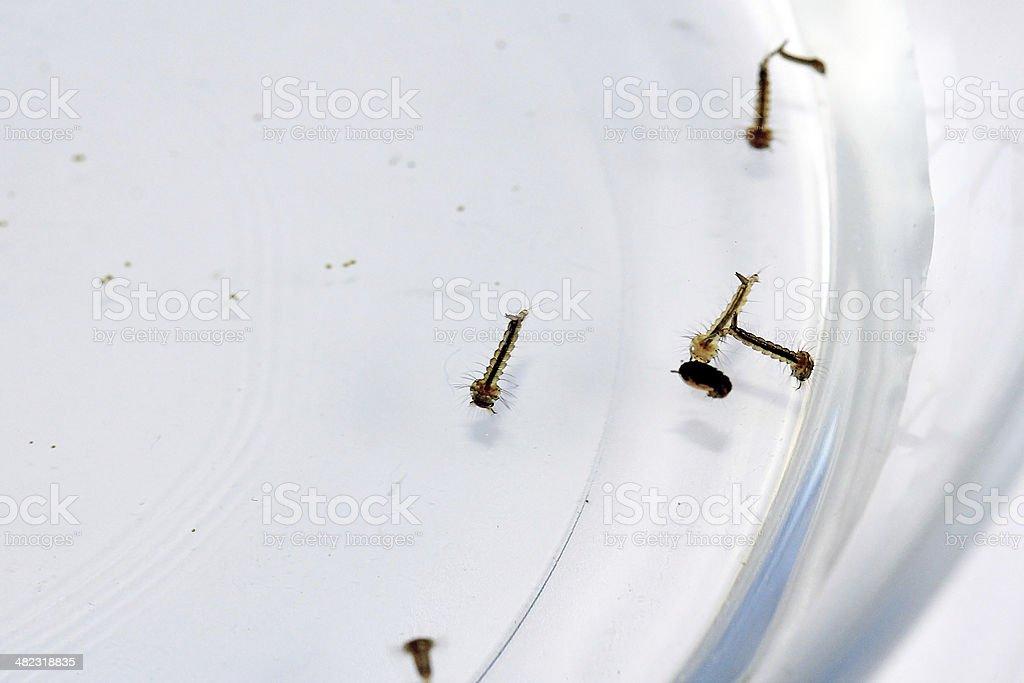 moskito larvae stock photo