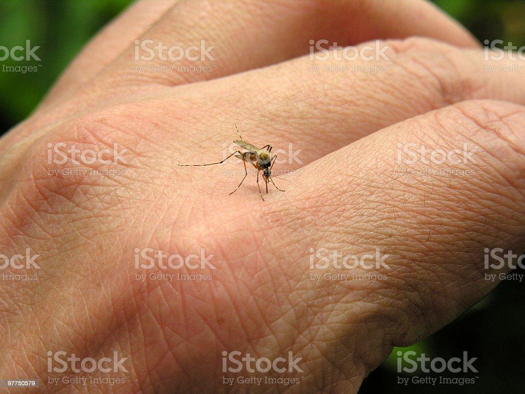 mosquito 01 royalty-free stock photo