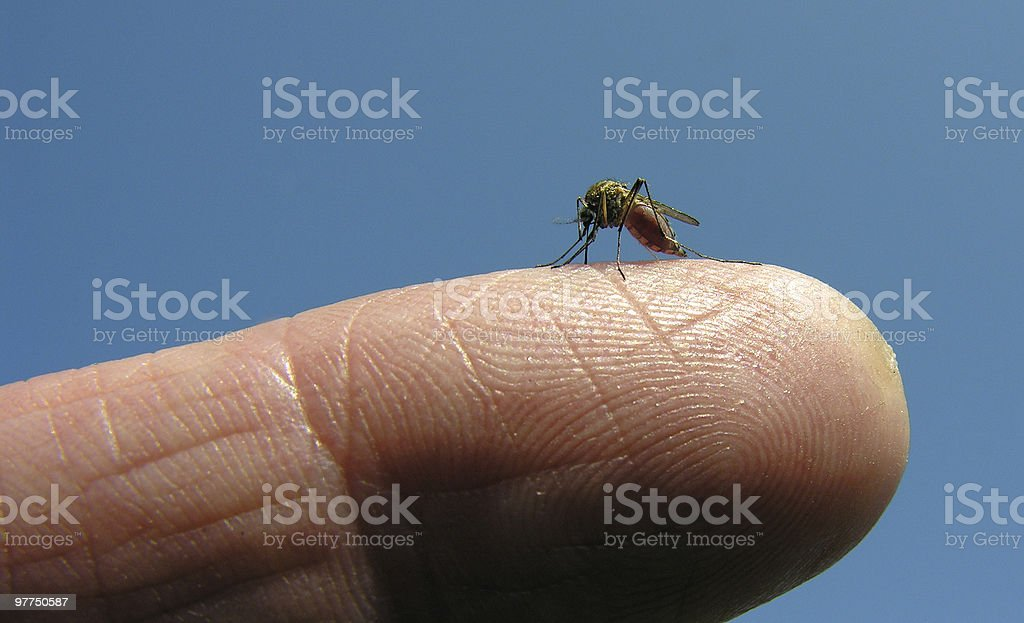 mosquito 03 royalty-free stock photo