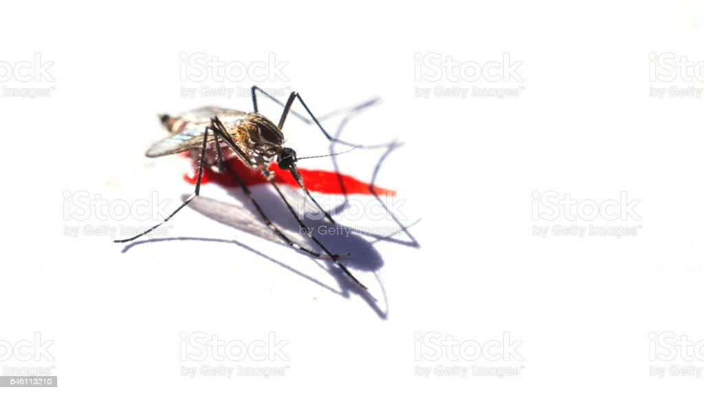 mosquito after sucking blood on white background stock photo