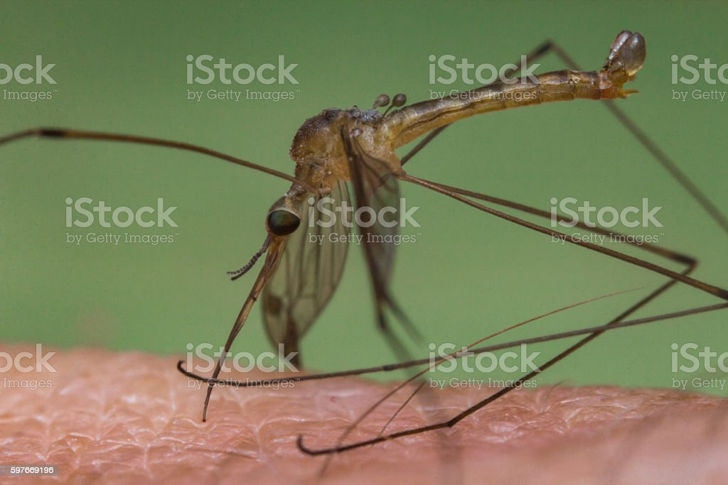 Mosquito Biting Skin stock photo