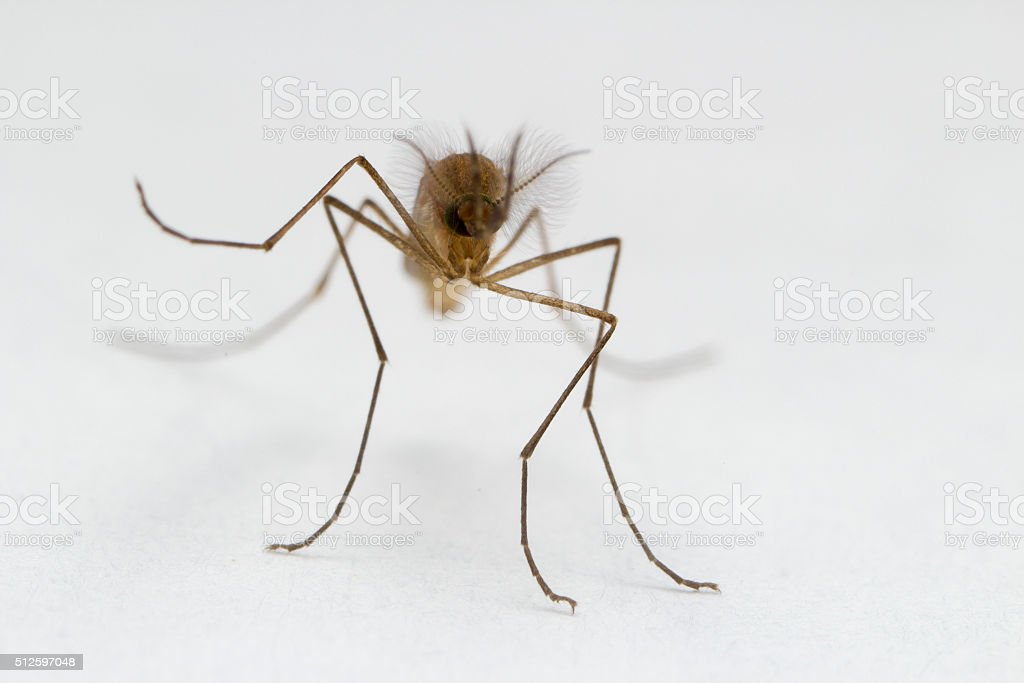 Mosquito Close Up stock photo