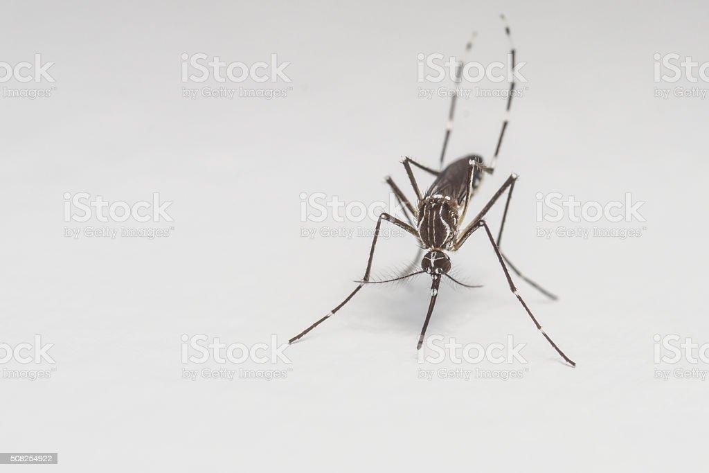 Mosquito close-up or macro stock photo