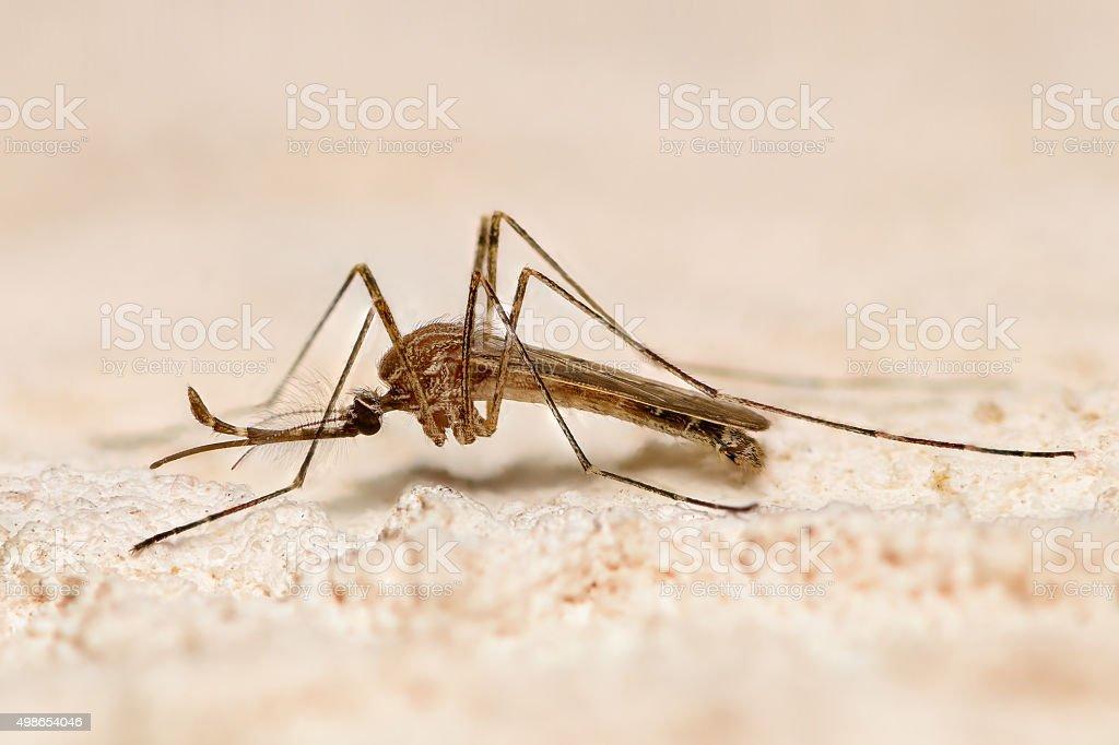 Mosquito closeup stock photo