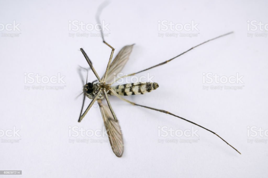 mosquito, dangerous vehicle of infection stock photo