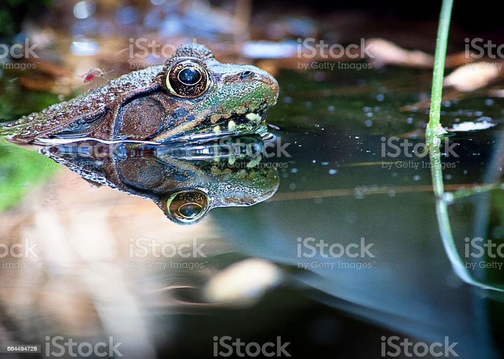 Mosquito eats frog stock photo