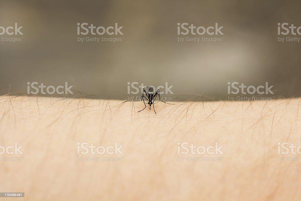 Mosquito Feeding stock photo