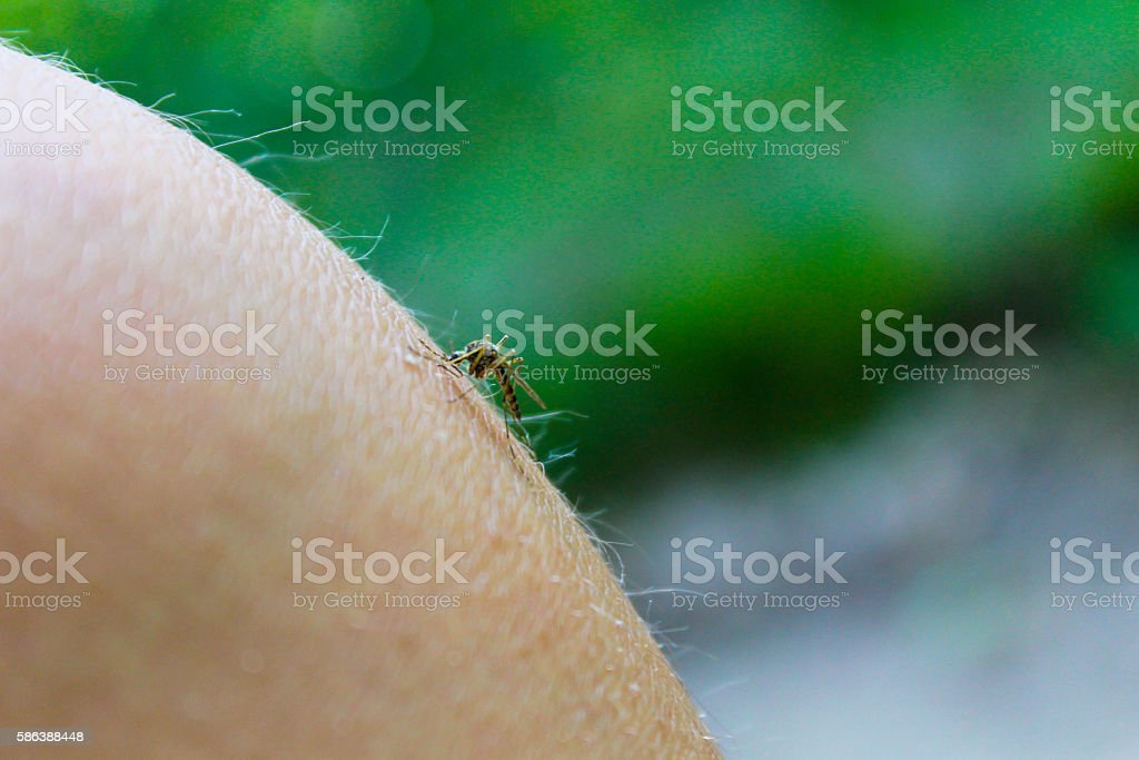 Mosquito (Culex pipiens) feeds on the blood of the human body stock photo