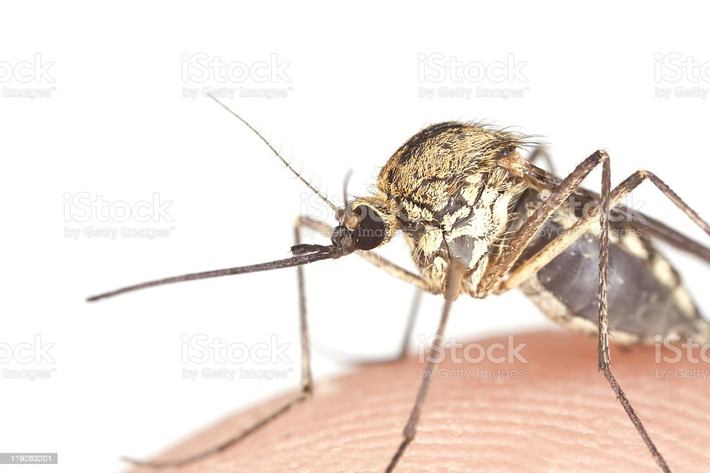 Mosquito filled with blood. royalty-free stock photo