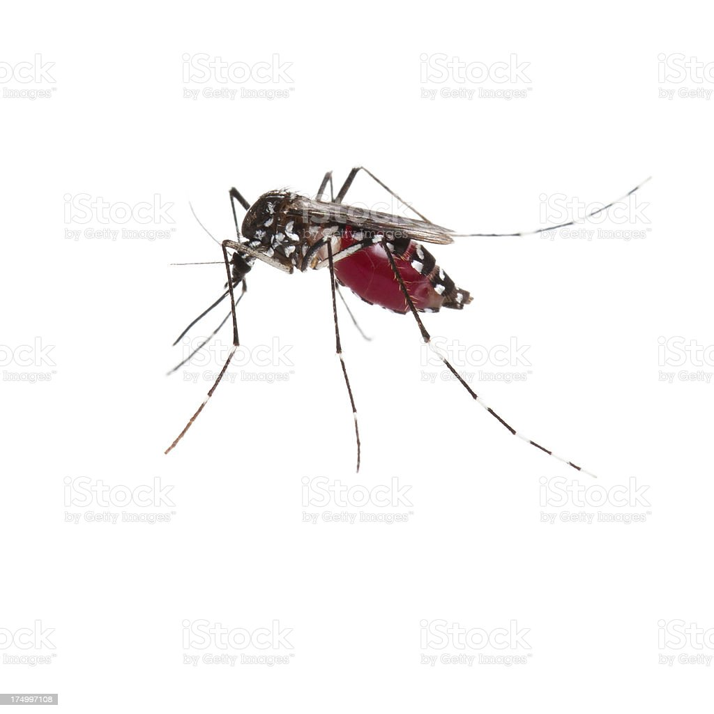 Mosquito full of blood stock photo