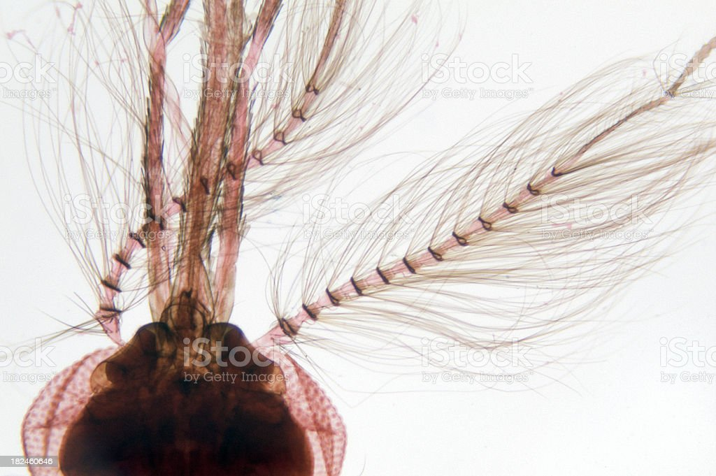 Mosquito Head Male WM royalty-free stock photo