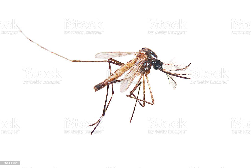 Mosquito in isolate white background stock photo