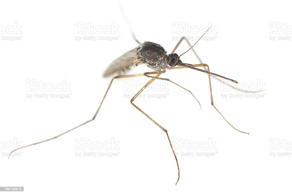 Mosquito isolated on white background, extreme close-up royalty-free stock photo