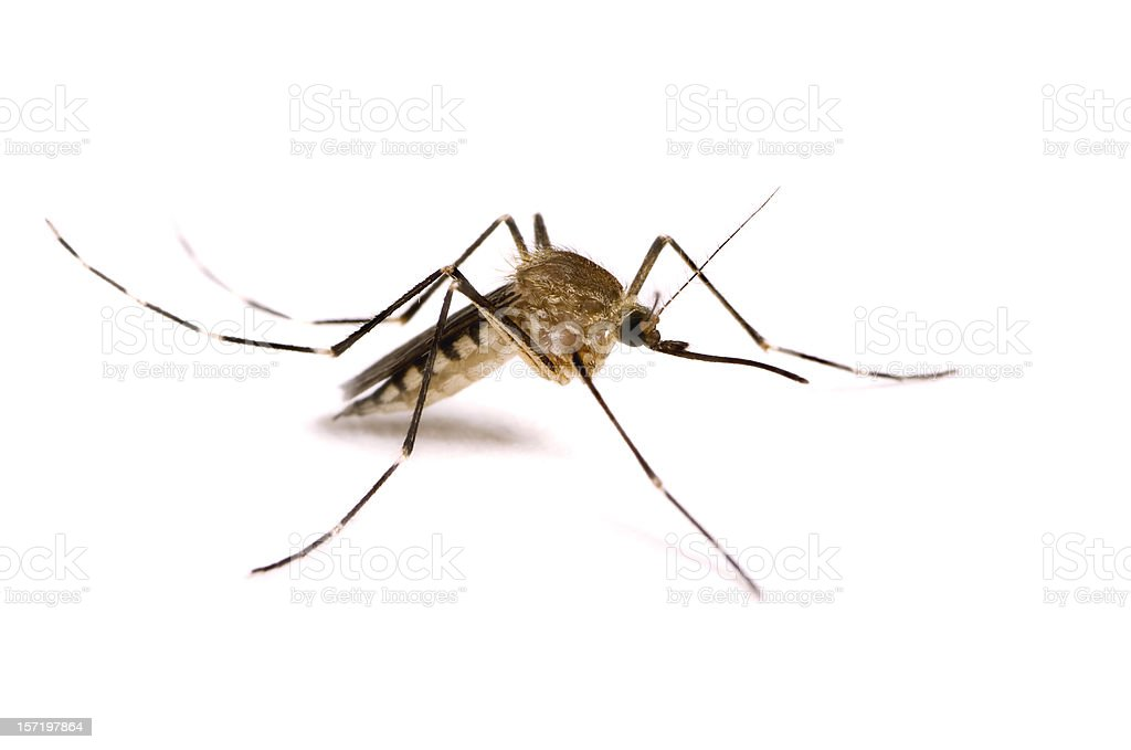 Mosquito Isolated on White royalty-free stock photo
