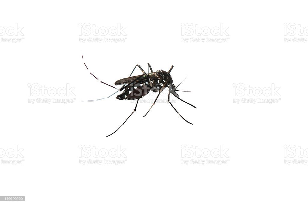 mosquito isolated royalty-free stock photo