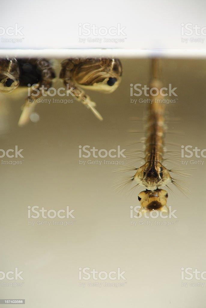 Mosquito Larva and Pupa royalty-free stock photo