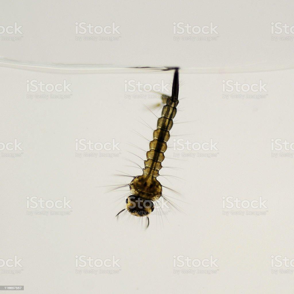 mosquito larva, Culex species royalty-free stock photo
