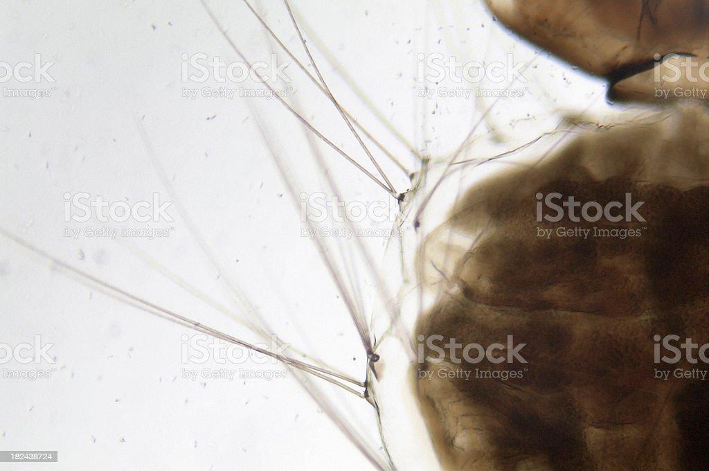 Mosquito Larva WM royalty-free stock photo
