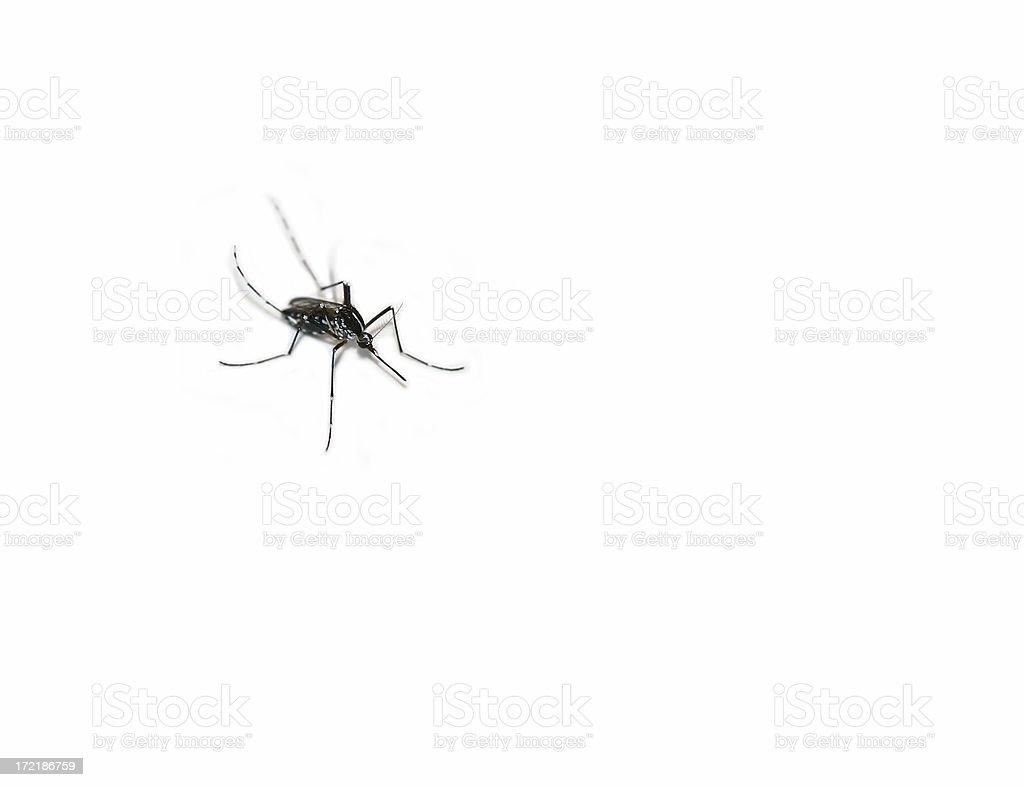 mosquito macro royalty-free stock photo