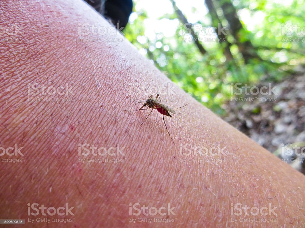 Mosquito (Culex pipiens) on a human body sucking blood stock photo