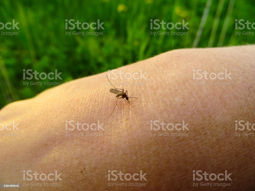 mosquito (Culex pipiens) on a human hand sucking blood stock photo