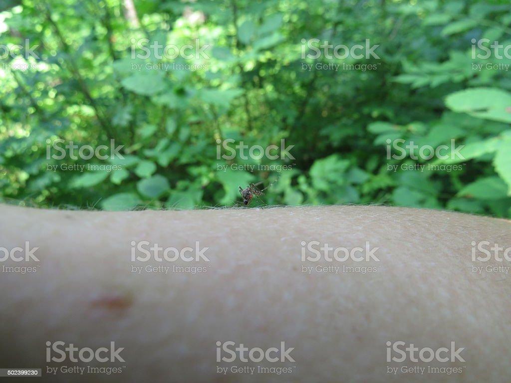 mosquito on arm stock photo
