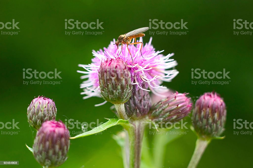 Mosquito on flower royalty-free stock photo
