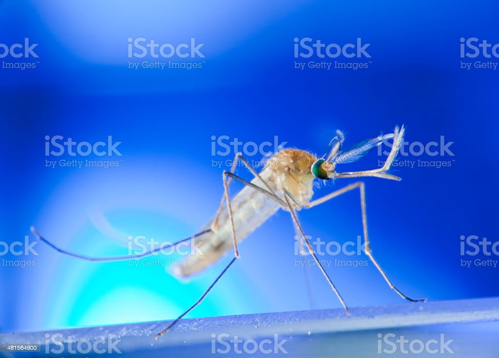 Mosquito on glass surface stock photo