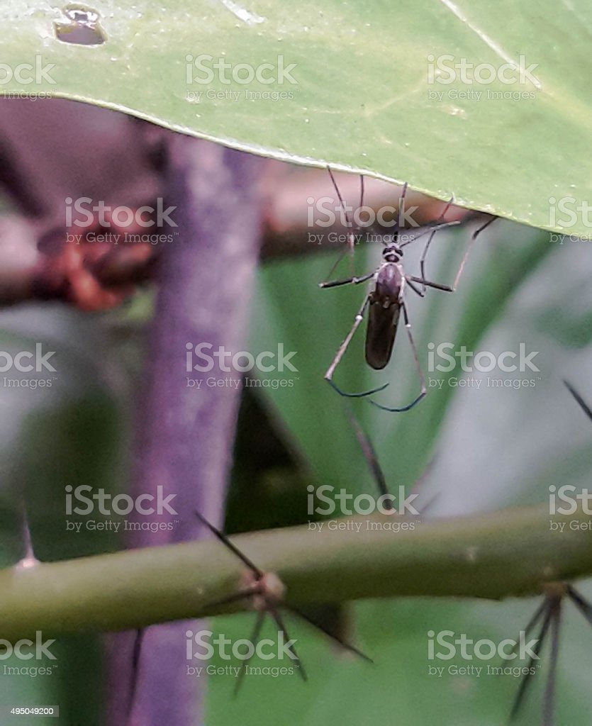 Mosquito on green leaf,Mosquito hang on leaf in macro stock photo
