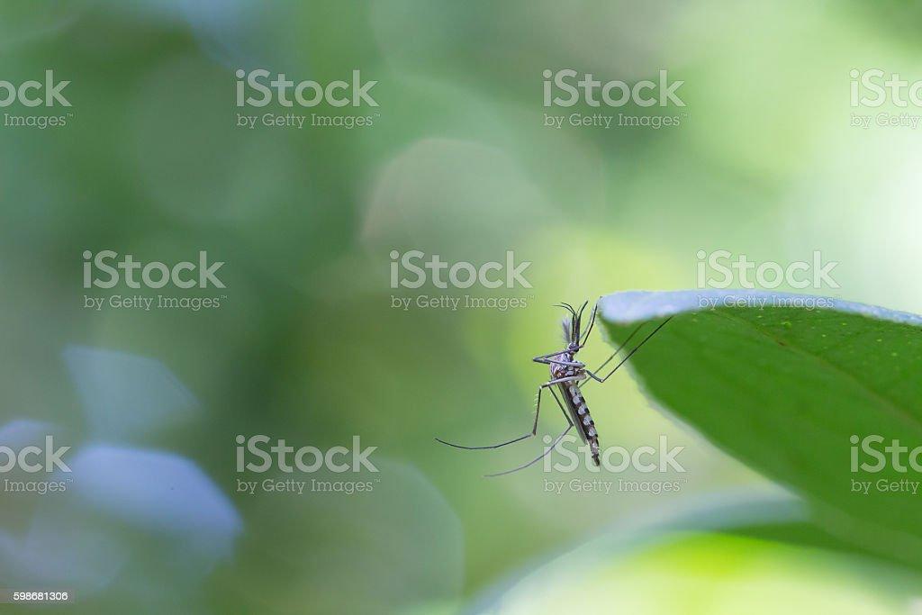Mosquito on leaf stock photo