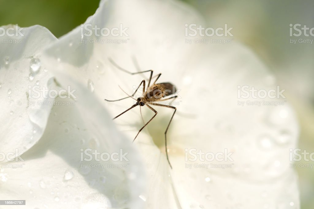 Mosquito on phlox in the morning royalty-free stock photo