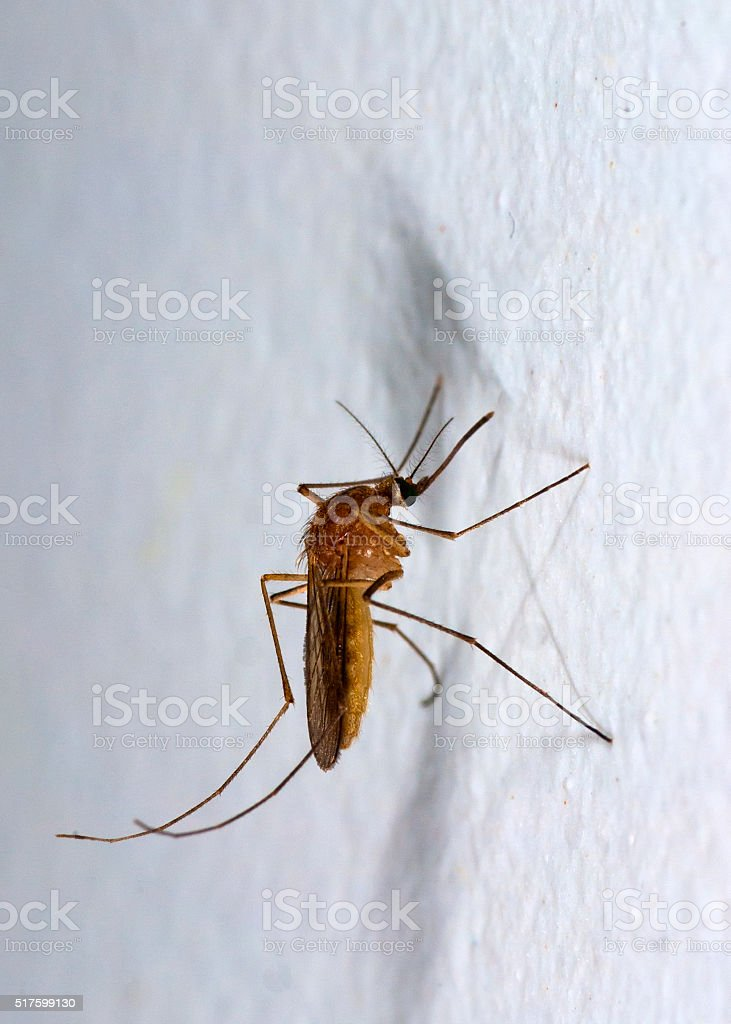 Mosquito on the wall stock photo
