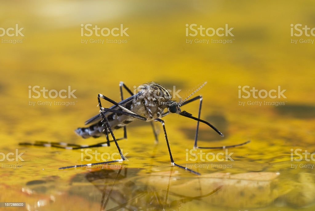 Mosquito on Water royalty-free stock photo