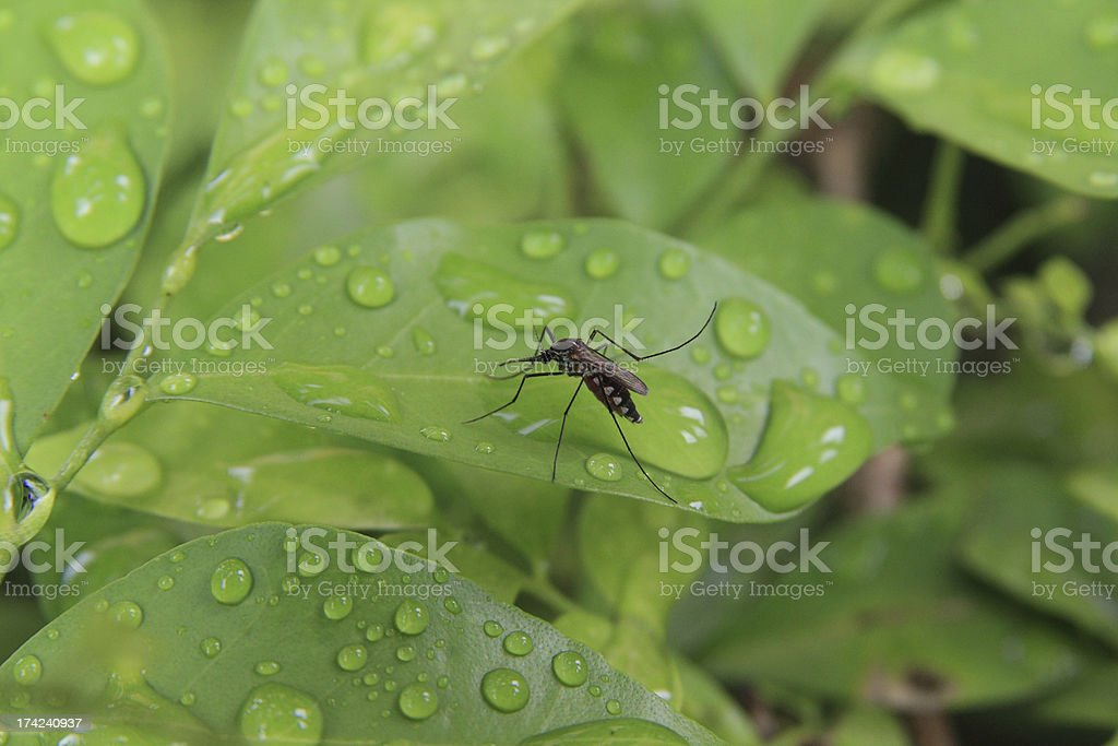 Mosquito royalty-free stock photo