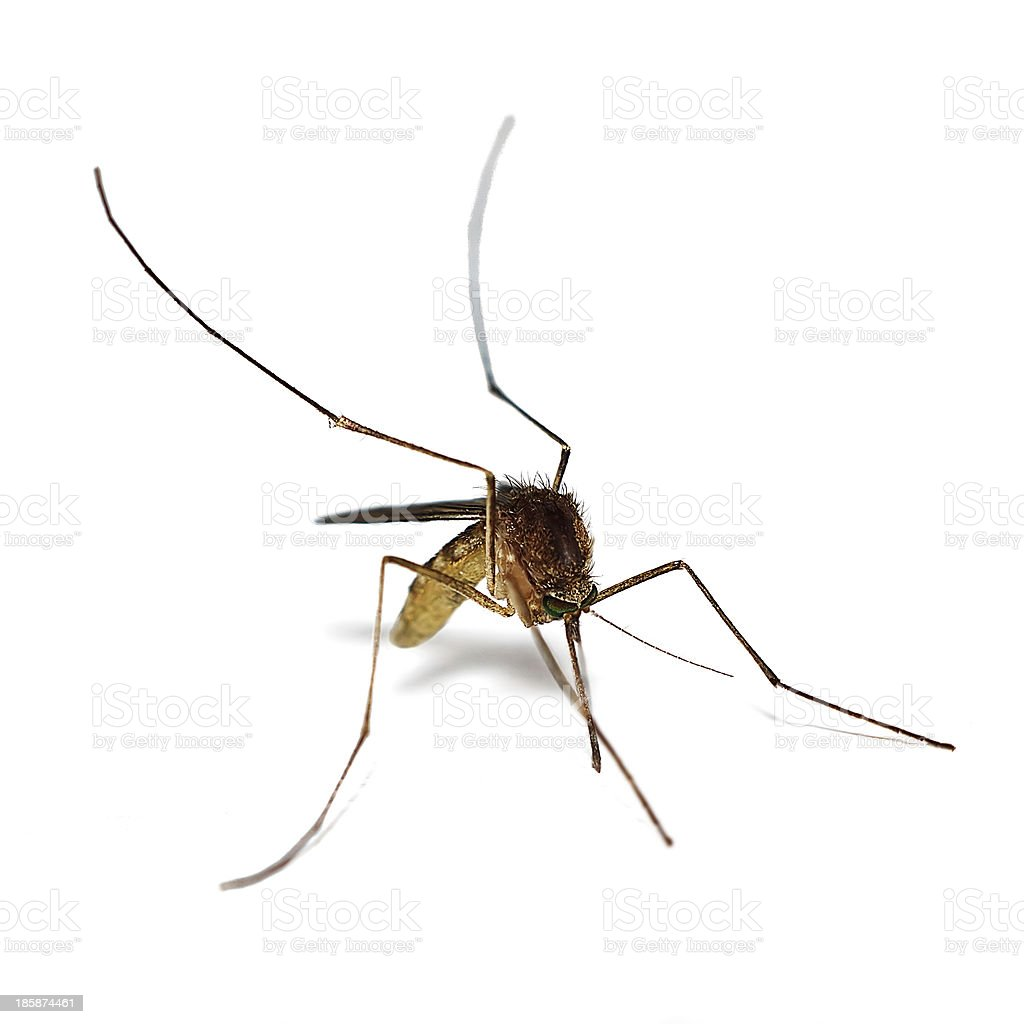 Mosquito. royalty-free stock photo