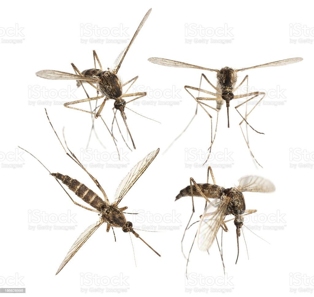 mosquito stock photo