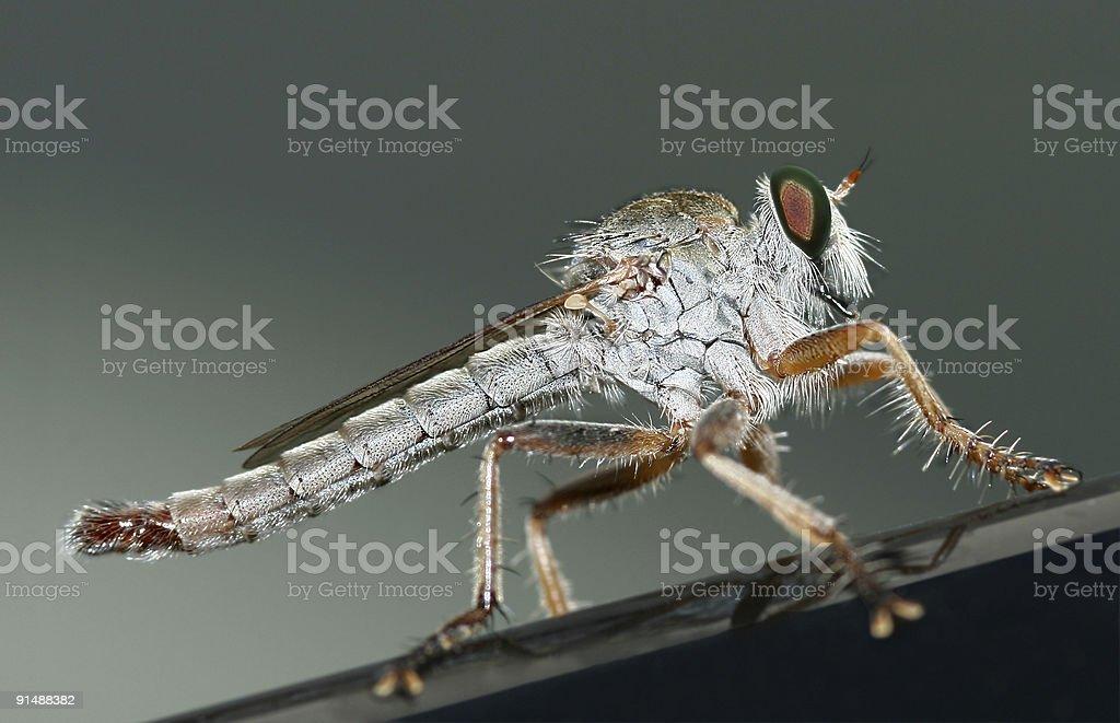 Mosquito royalty-free stock photo